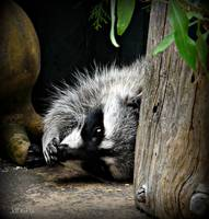 Raccoon :