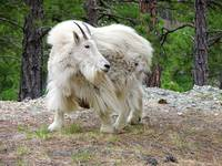 White Mountain Goat, Mt Rushmore, National Memoria