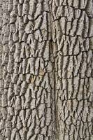 Cottonwood Tree Texture Print