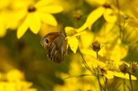 Butterfly on yellow Blossom