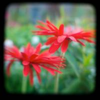 red flowers ttv