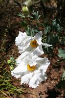 Romneya coulteri or the Matilija Poppy