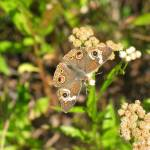 """Buckeye Butterfly"" by Sonja"