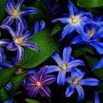 """Bluets"" by bavosiphotoart"