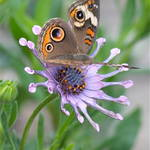 """Butterfly on African Daisy"" by Groecar"