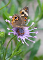 Butterfly on African Daisy