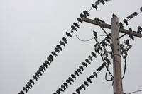 Pigeons Sitting on Hydro Lines 16