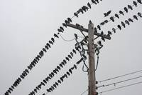Pigeons Sitting on Hydro Lines 14