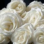 """Clouse-up of white roses"" by fotofollia"