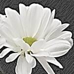 """""""Daisy 2"""" by KelliDee"""