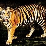 """Tiger Pencil Strokes"" by night"