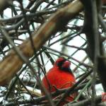"""Nestled in, male cardinal"" by ABCImagery"