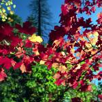 """Fall In Oak Creek Canyon With Maple Leaves"" by digitallightcreations"