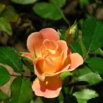 """Peachy Rose"" by ABCImagery"