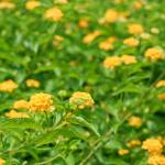 """Yellow Lantana"" by Rajeshbac"