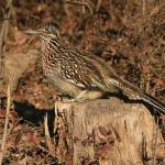 """Pretty Ms. Roadrunner"" by CKEphotos"