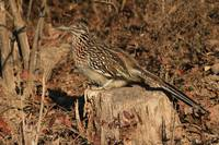 Pretty Ms. Roadrunner