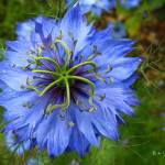 """nigella"" by punk"
