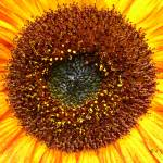 """""""Sunflower Zonbloom"""" by punk"""
