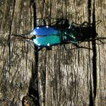 """iridescent turquoise beetle"" by punk"