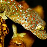 """Tokay Gecko"" by spikemu"