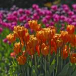 """tulips 109"" by Wiktor"