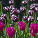 """tulips 115"" by Wiktor"