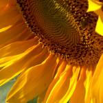 """Sunflower II"" by GABrittImages"