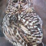 """Barred Owl"" by AmaliaJonas"