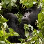 """kanyonyi black back gorilla of the mubare group"" by gruntpig"