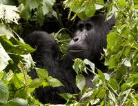kanyonyi black back gorilla of the mubare group
