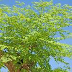 """Moringa oleifera (the tree of life)"" by Rajeshbac"