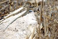 Cyprian bluetailed lizard