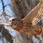 """Barred Owl In Flight"" by heathergreen"