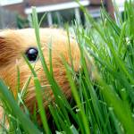 """Guinea Pig in the grass"" by spikemu"