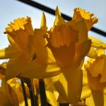 """Daffodils"" by Mason_Photos"