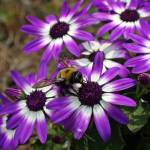 """Purple and white African daisy"" by ArtZThings"