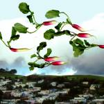 """Flock of Radishes Flying East Over Bernal Hill"" by BethPewther"