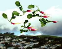 Flock of Radishes Flying East Over Bernal Hill