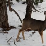 """""""Mule deer"""" by karlagarcia"""