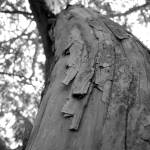 """Peeling tree"" by karlagarcia"