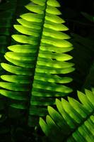 Tender ferns