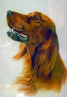 Red Setter Pet Dog