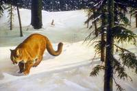 Cougar Hunting on a Snowy Forest Trail