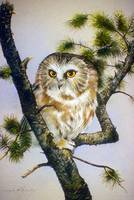 Saw-Whet Owl in Tree