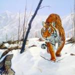 """Siberian Tiger on the Prowl"" by ArtLoversOnline"