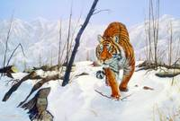 Siberian Tiger on the Prowl