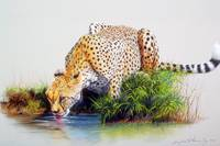 Study of a Cheetah Drinking from a Stream