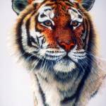 """Bengal Tiger Study"" by ArtLoversOnline"