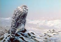 Snowy Owl Looking for Prey